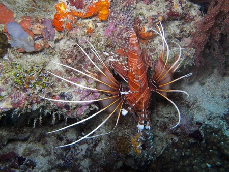Spot fin Lionfish  Pterois antennata  photo