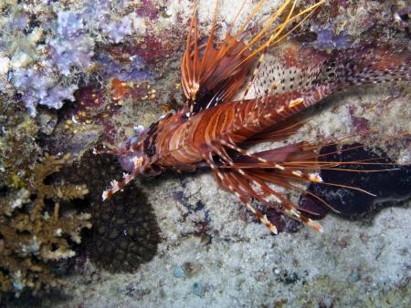 pterois: Spot fin Lionfish  Pterois antennata