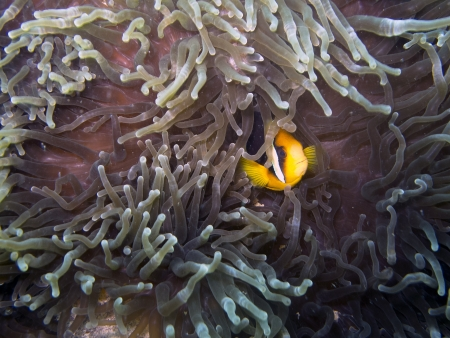 Clark s anemonefish Amphiprion clarkii photo