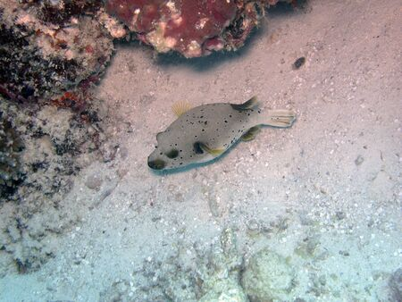 blackspotted: Black-spotted pufferfish  Arothron nigropunctatus