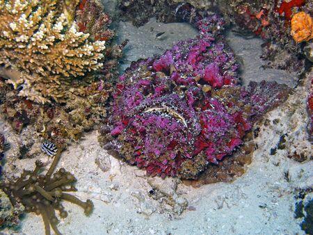 ichthyology: Stonefish  Synanceia verrucosa  Stock Photo