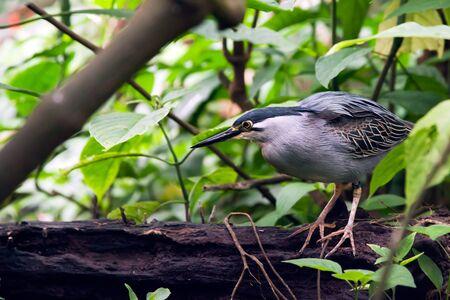 striated: Striated Mangrove Heron  Butorides Striata  aka Mangrove Heron, Little Heron, Green-backed Heron
