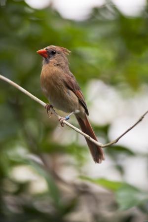 Red cardinal  female  aka Northern Cardinal, redbird, common cardinal  Cardinalis cardinalis  photo