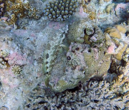 epinephelus: Four-Saddle Grouper