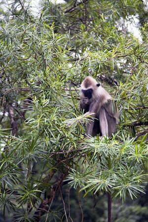 hanuman langur: Hanuman langur