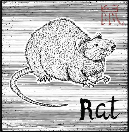 year of the rat: Engraved illustration of zodiac symbol with Rat or Mouse and lettering. Horoscope and astrological sign of asian new year calendar. Graphic line art with animal. Chinese hieroglyph means Rat
