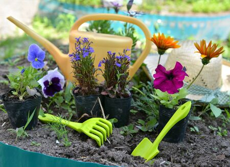 cultivate: Garden still life with summer flowers, pansy, petunia, daisy, and working tools on flowerbed. Vintage planting flowers concept Stock Photo