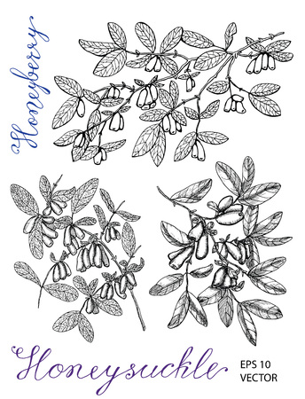 Hand drawn black and white set with honeysuckle berries on branches and lettering. Vintage nature concept, hand drawn vector illustration with engraved design elements