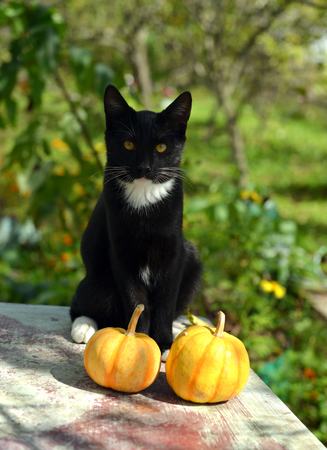 Beautiful black cat and two small pumpkins on the garden table. Summer and autumn nature vintage background in daylight outdoors with animal 版權商用圖片