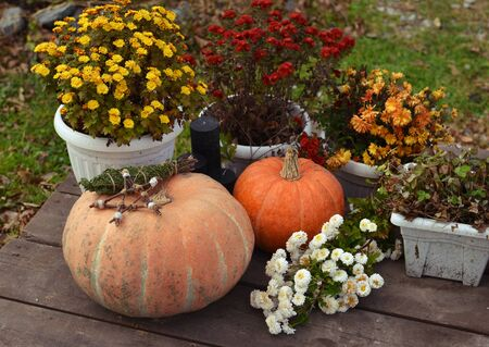 Pumkins with chrysanthemum flowers in pots outside on planks. Halloween and thanksgiving background with harvest Фото со стока