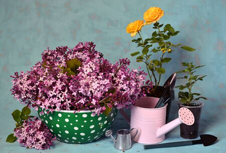 Beautiful flowers of rose and lilac in pots with watering can and little spade on table. Vintage gardening concept, home hobby still life Foto de archivo - 137412066