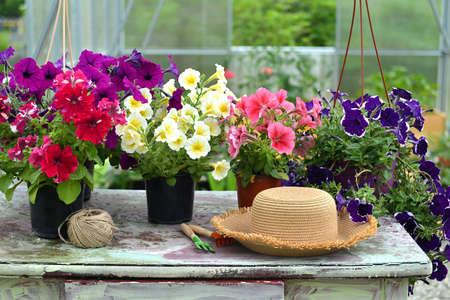 Still life with petunia flowers in pots, straw hat and tools on table in greenhouse. Vintage botanical background with plants, home hobby still life with gardening objects and nature.