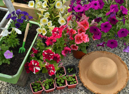 Top view of blooming petunia in flowerpots, straw hat and sprouts in greenhouse. Vintage botanical background with plants, home hobby still life with gardening objects and nature. Zdjęcie Seryjne