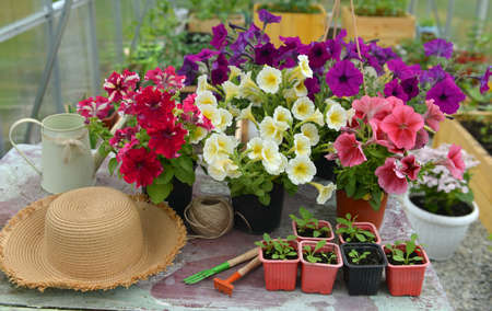 Beautiful petunia flowers in blossom, straw hat and spouts on table in greenhouse. Vintage botanical background with plants, home hobby still life with gardening objects and nature.