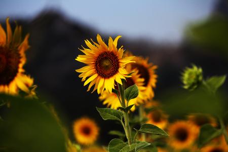 helianthus: sunflower in the big farm