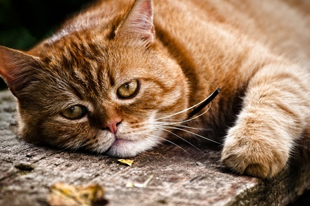 Beautiful cat portrait, the red cat lays on wood and looks into the camera photo