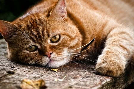 Schöne Katze Porträt, die Katze legt auf Holz und sieht in der Kamera Standard-Bild - 9533232