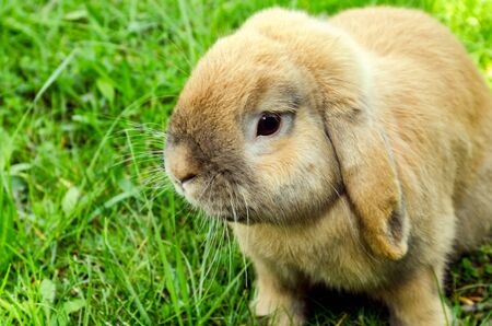 rabit: cute yellowish rabit sits in green grass Stock Photo