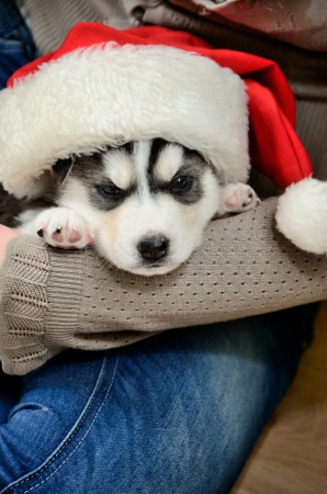 pet new years new year pup: Siberian Husky puppy in red Santa hat on woman hands