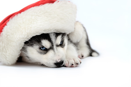 pet new years new year pup: Siberian Husky puppy in red Santa hat Stock Photo