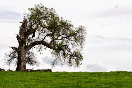 Ein alter toter und gebrochenen großen Baum durch Blitzschlag beschädigt Standard-Bild - 39491390