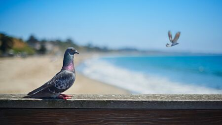 Pigeon and flying a bird on background, coastal background