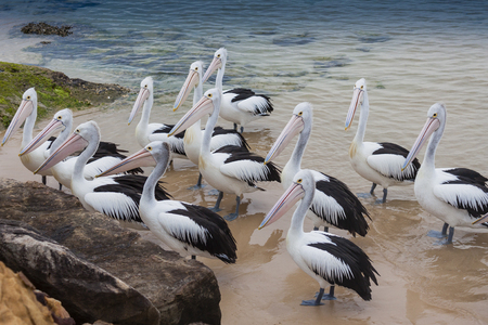 A group of pelicans gathering for feeding time