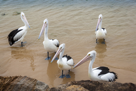 Group of Australian Pelicans on sandy shore Фото со стока - 100373557