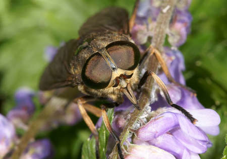 painfully: The gadfly on a flower Stock Photo