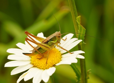 Grasshopper on a camomile flower                   photo