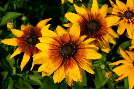 Black-eyed Susan Stock Photo - 13298060
