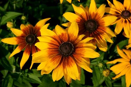 coneflowers: Black-eyed Susan