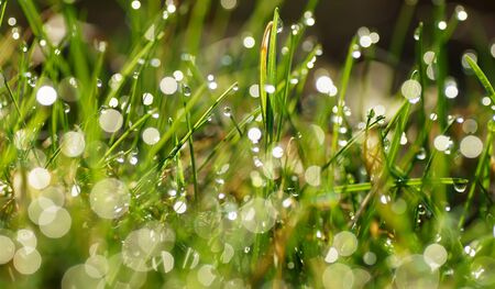 Green grass with dew drops                     photo