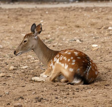 Small deer Stock Photo - 13402994