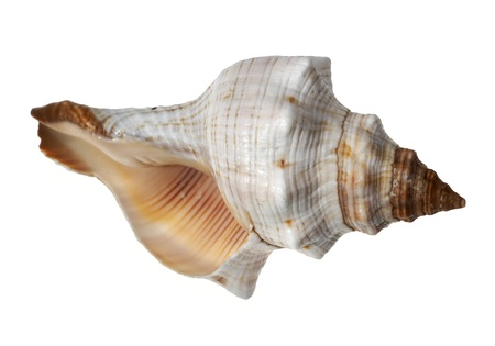 cockleshells: Sea cockleshell on a white background