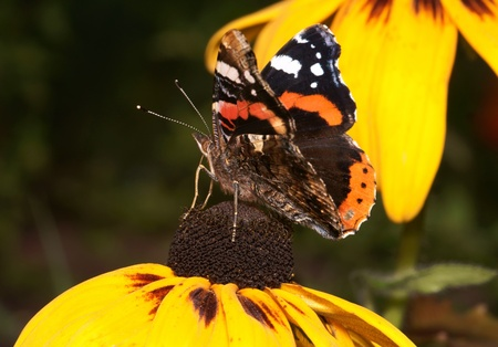 The butterfly, is photographed by close up on a flower photo
