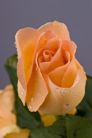 Rose in dew drops photo