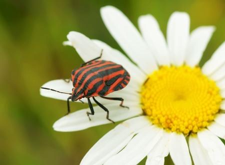 Bug on a camomile flower                   photo
