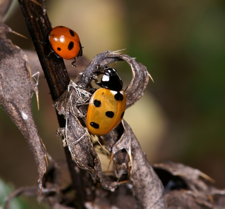forewing: Two ladybirds