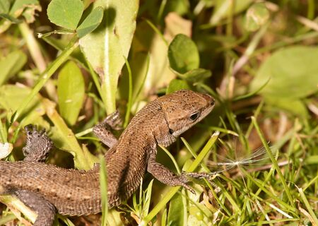 The brown lizard, is photographed in a grass Stock Photo - 13412457