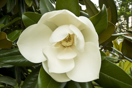 the magnolia: A white bud on a magnolia tree Stock Photo