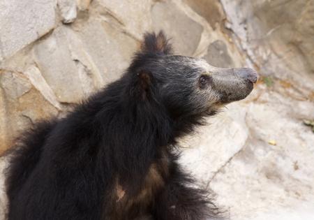sloth: oso perezoso Foto de archivo