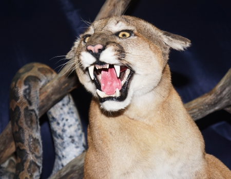 puma cat: wild cat Puma