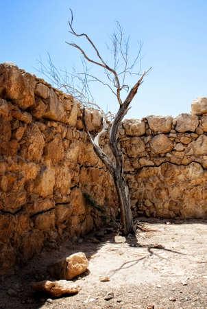 masada: Withered tree at the top of Masada Stock Photo