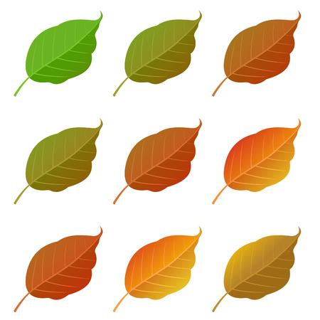 Autumn poplar leaves set, isolated on white background. simple cartoon flat style, vector illustration.