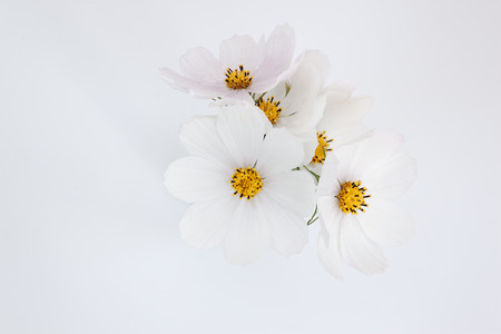White Cosmos flower on the white background 写真素材