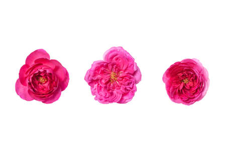 Flower rose for wedding, save date, thank you, business card. Pink flowers. Top view 免版税图像