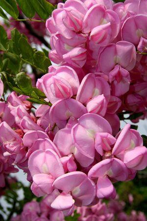 blossom tree photo