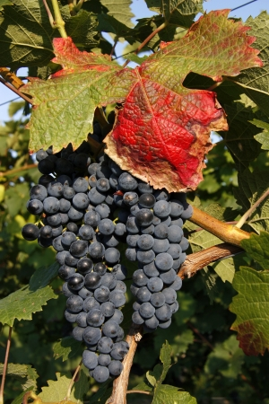 Big red grapes waiting for the harvest Stock Photo - 17408858