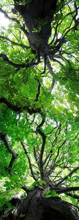 chlorophyll: chestnut tree Stock Photo